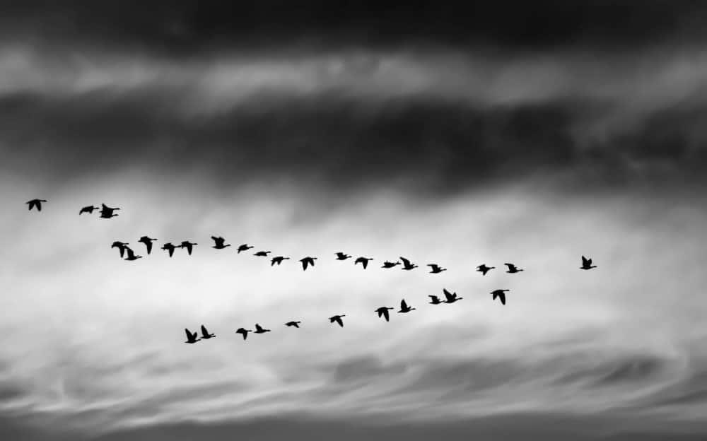 groupe d'oiseaux en vol